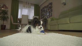 Verfolgen Sie Papillon, das mit einem Ball auf einer Wolldecke im Wohnzimmervorrat-Gesamtlängenvideo spielt stock footage