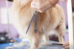 Verfolgen Sie Pomeranian-Haarschnittfrauenvorlagenpflegenhunde in einem Salon Stockfotografie