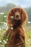 Verfolgen Sie Porträt, irischen roten Setzer in den Blumen auf grünem Hintergrund Lizenzfreie Stockfotos