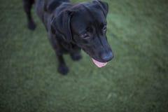 Verfolgen Sie Porträt, schwarzes Labrador auf Rasenhintergrund Lizenzfreies Stockfoto