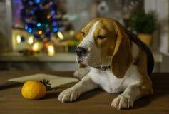 Verfolgen Sie Porträt Spürhund auf dem Hintergrund von Weihnachtslichtern Stockbilder