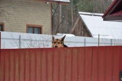 Verfolgen Sie Schäfer späht schüchtern heraus von hinten den Zaun Lizenzfreie Stockfotografie