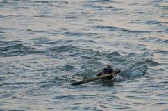 Verfolgen Sie Schwimmen im Meer mit Stock in seinem Mund während des Abends Lizenzfreie Stockfotos