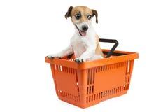 Verfolgen Sie Steckfassungsrussell-Terrier, der in einem Warenkorb sitzt Stockfoto