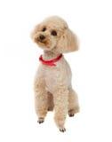 Verfolgen Sie Toy Poodle, der auf einem weißen Hintergrund mit einem roten Kragen sitzt lizenzfreie stockfotografie