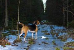 Verfolgen Sie watchin in Waldfrühlings-Abendzeit Lizenzfreie Stockfotos