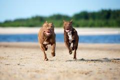 Verfolgt amerikanischer Terrier der Pitbull zwei Betrieb zusammen auf dem Strand lizenzfreies stockbild