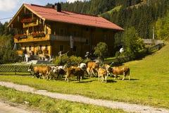Verfraaide koeien Oktoberfest Gerlos Oostenrijk royalty-vrije stock afbeeldingen