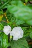 Verfris witte jasmijnbloem Stock Afbeelding