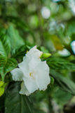 Verfris witte jasmijnbloem Royalty-vrije Stock Foto's