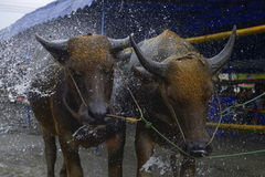 Verfriste buffels Royalty-vrije Stock Afbeeldingen
