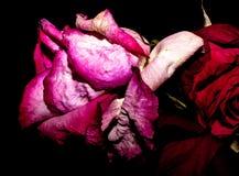 Verfrommelde het roze nam toe Stock Foto's