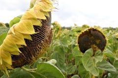 Verfrommelde zonnebloemen Royalty-vrije Stock Afbeeldingen