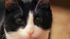 Vergüenza agarrada para los trucos del gato almacen de metraje de vídeo