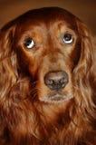 Vergüenza de la sensación del perro Fotos de archivo libres de regalías