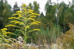 Verga aurea canadese o solidago canadensis dell'erba medicinale in legno di autunno nella periferia di Mosca, Russia Immagine Stock