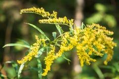 Verga aurea canadese o solidago canadensis dell'erba medicinale in legno di autunno nella periferia di Mosca, Russia Immagini Stock