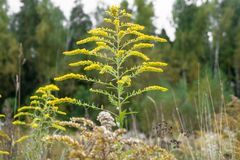 Verga aurea canadese o solidago canadensis dell'erba medicinale su un prato di autunno nella periferia di Mosca, Russia Immagini Stock