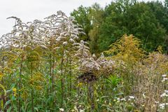 Verga aurea canadese o solidago canadensis dell'erba medicinale su un prato di autunno nella periferia di Mosca, Russia Immagine Stock Libera da Diritti