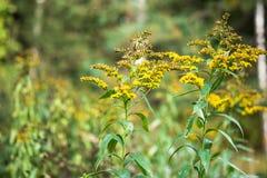 Verga aurea canadese o solidago canadensis dell'erba medicinale su un prato di autunno nella periferia di Mosca, Russia Fotografie Stock