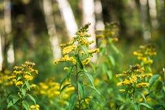 Verga aurea canadese o solidago canadensis dell'erba medicinale su un prato di autunno nella periferia di Mosca, Russia Immagine Stock