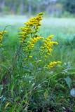 Verga aurea su fioritura Immagini Stock