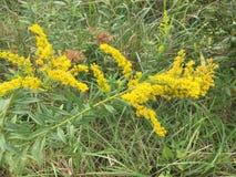 Verga aurea, un'erbaccia che è confusa con l'ambrosia fotografie stock