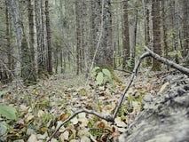 Vergankelijk bos in Centraal Rusland stock footage