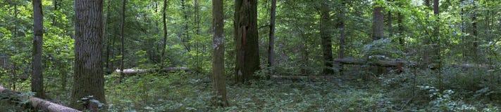 Vergankelijk boslandschap met oude eiken bomen stock fotografie