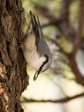 Vogel die voedsel voorbereiden op de winter Stock Afbeelding