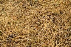 Vergeeld droog gras Royalty-vrije Stock Afbeeldingen