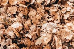 Vergeeld en verwelkte eiken bladeren royalty-vrije stock afbeelding