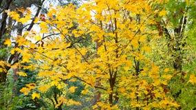 Vergeelde bladeren op de bomen Royalty-vrije Stock Afbeelding