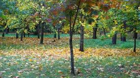 Vergeelde bladeren op de bomen Royalty-vrije Stock Afbeeldingen