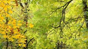 Vergeelde bladeren op de bomen Stock Afbeelding