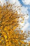 Vergeelde bladeren van een lange boom van het sluiten Stock Afbeelding