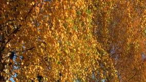 Vergeelde bladerendaling neer van de berk De gouden Herfst stock videobeelden