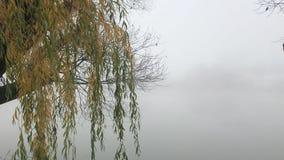 Vergeelde die wilg op een meer met mist wordt behandeld stock videobeelden