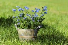 Vergeet me niet bloem in grijze houten pot stock fotografie