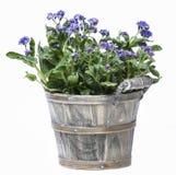 Vergeet me niet bloem in grijze houten pot royalty-vrije stock foto's