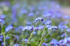 Vergeet me niet bloemen in tuin royalty-vrije stock afbeelding