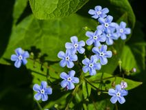 Vergeet me niet, Myosotis, kleine bloemen macro, selectieve nadruk, ondiepe DOF royalty-vrije stock afbeelding