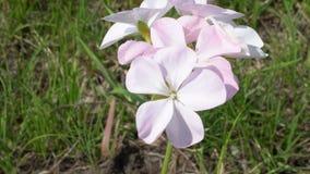 Vergeet me niet roze bloemen Royalty-vrije Stock Foto's