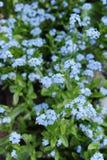 Vergeet me niet - spring blauwe tuinbloemen op Royalty-vrije Stock Foto