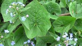 Vergeet-mij-nietje bos blauwe bloem Boraginaceae Myos tis Langzaam het schieten van camerabeweging met Steadicam Panorama van stock videobeelden