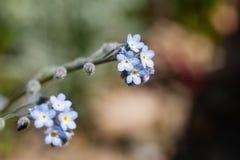Vergeet-mij-nietjebloem (Myosotis scorpioides) Royalty-vrije Stock Foto's