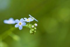 Vergeet-mij-nietjebloemen stock afbeelding