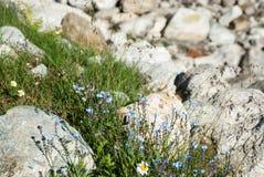 Vergeet-mij-nietjebloemen in bergen Royalty-vrije Stock Fotografie