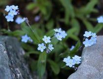 Vergeet-mij-nietjebloemen, close-upmening stock foto's