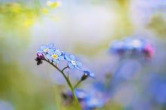 Vergeet-mij-nietjesbloemen op een zonnige dag Stock Foto's